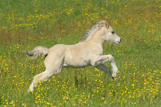 Stock Photo: 4279-33598 Norwegian Fjord horse - foal running on meadow