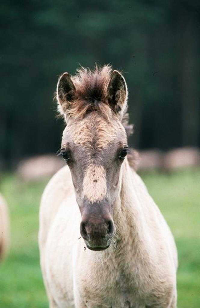 D¸lmener wild horses : Stock Photo