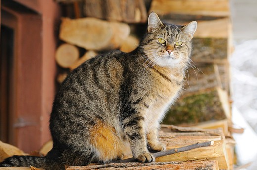 tabby domestic cat - sitting on a woodpile : Stock Photo