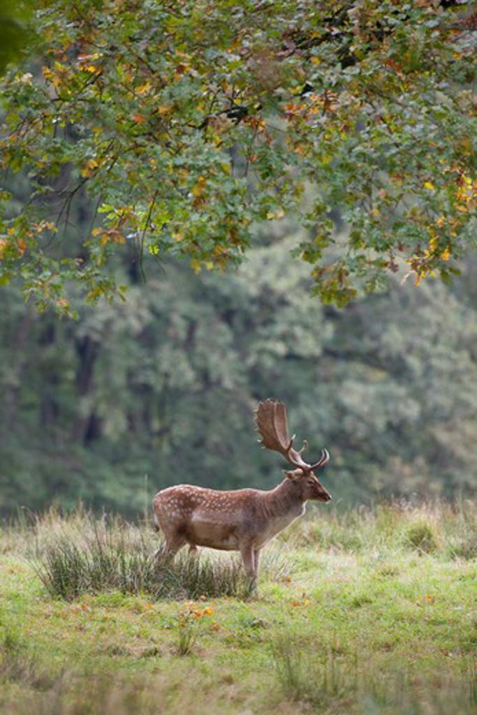 Stock Photo: 4279-33933 Fallow Deer - standing on a meadow, Dama dama