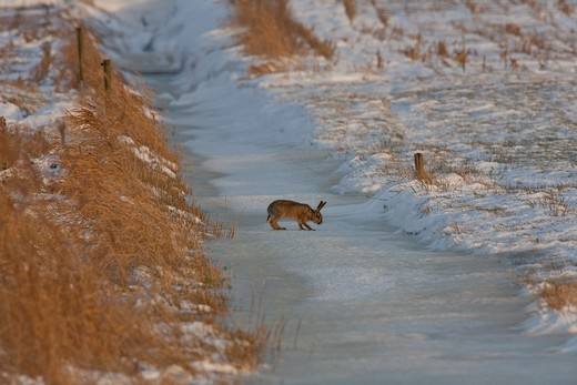 Stock Photo: 4279-33936 European hare - standing in the snow, Lepus europaeus