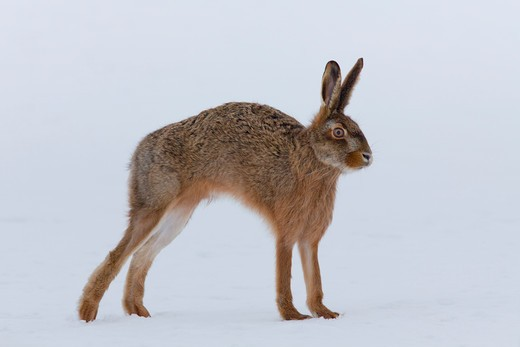 Stock Photo: 4279-33982 European hare standing in the snow - stretching itself, Lepus europaeus