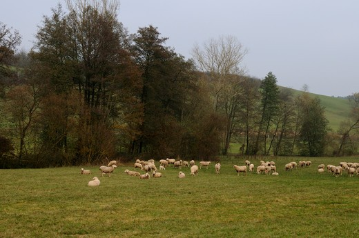 Stock Photo: 4279-34008 domestic sheep - herd on meadow, Ovis orientalis aries
