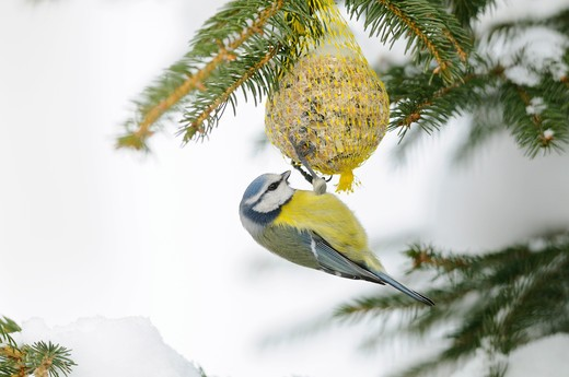 Blue Tit at birdseed, Parus caeruleus : Stock Photo