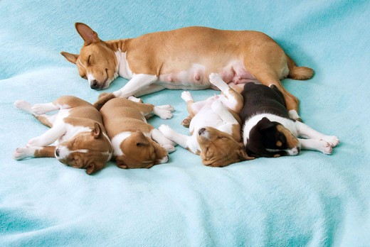Basenji dog with puppies - sleeping - cut out : Stock Photo