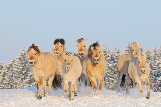 Stock Photo: 4279-34128 Norwegian Fjord horse - herd in snow