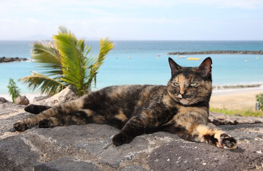 Stock Photo: 4279-34149 Domestic Cat - lying on a rock