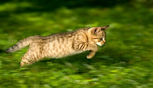 British Shorthair cat - kitten - jumping : Stock Photo