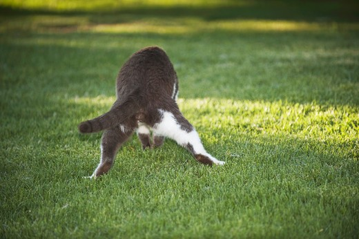 Stock Photo: 4279-34360 domestic cat catching prey
