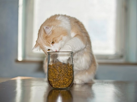 Maine Coon cat at glass with cat food : Stock Photo