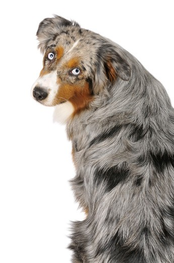 Australian Shepherd dog - sitting - cut out : Stock Photo