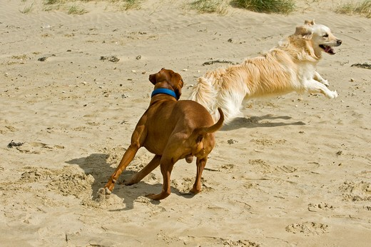 Stock Photo: 4279-34708 Magyar Vizsla dog and Golden Retriever dog at the beach