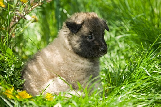 Stock Photo: 4279-34832 Belgian Shepherd dog (Tervuren) - puppy on meadow