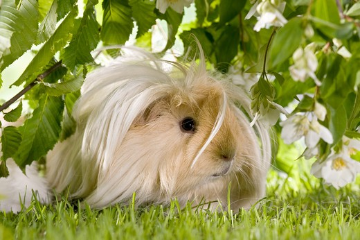 Angora guinea pig on meadow : Stock Photo