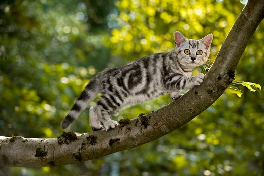 Stock Photo: 4279-35093 British Shorthair cat - kitten on branch