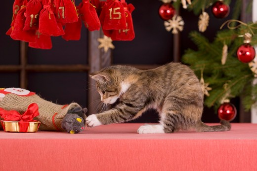 Christmas: domestic cat - kitten pulling a cuddly toy out of a bag : Stock Photo