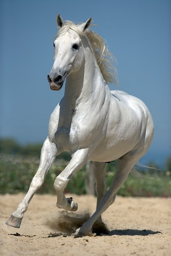 Andalusian horse - galloping : Stock Photo