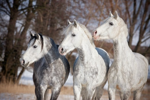 three German Riding Ponies - standing : Stock Photo
