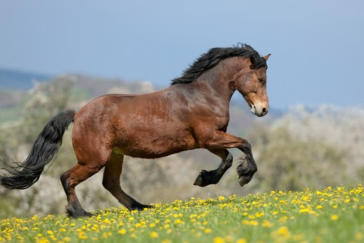Stock Photo: 4279-35523 Zemaitukas horse - galloping on meadow