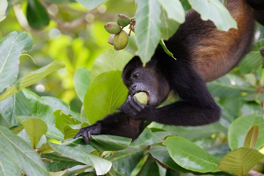 Stock Photo: 4279-35549 Mantled Howler hanging in a tree - eating a fruit, Alouatta palliata