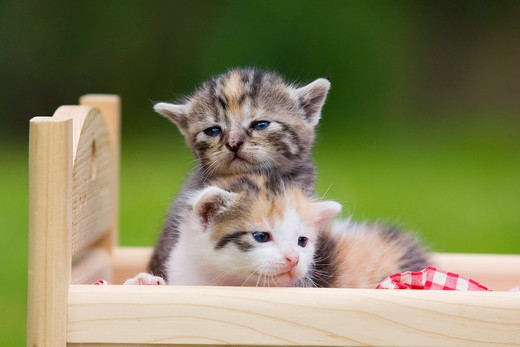 two tabby kittens in a bed : Stock Photo