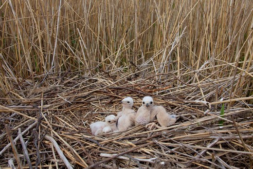 Stock Photo: 4279-35633 Western Marsh-harrier - squabs in the nest, Circus aeruginosus