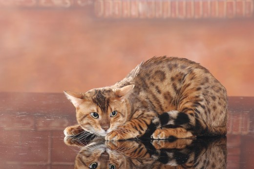 Stock Photo: 4279-35693 Bengal cat - lying