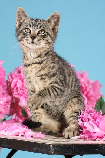 Stock Photo: 4279-35705 tabby kitten - sitting on a table