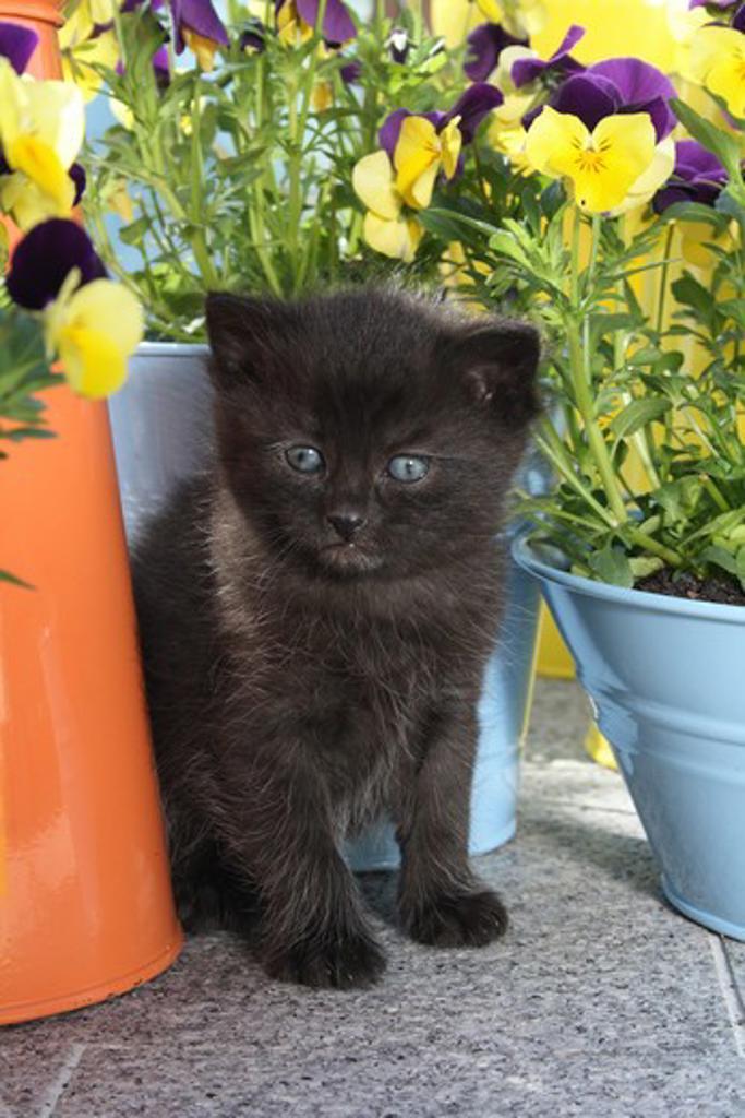 black kitten - sitting between flower pots : Stock Photo