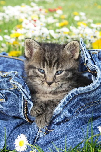 Stock Photo: 4279-35823 tabby kitten in a jeans