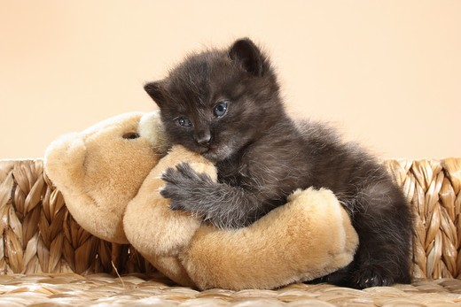 black kitten - smooching with a teddybear : Stock Photo