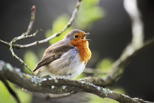 Stock Photo: 4279-3595 Robin, Erithacus rubecula