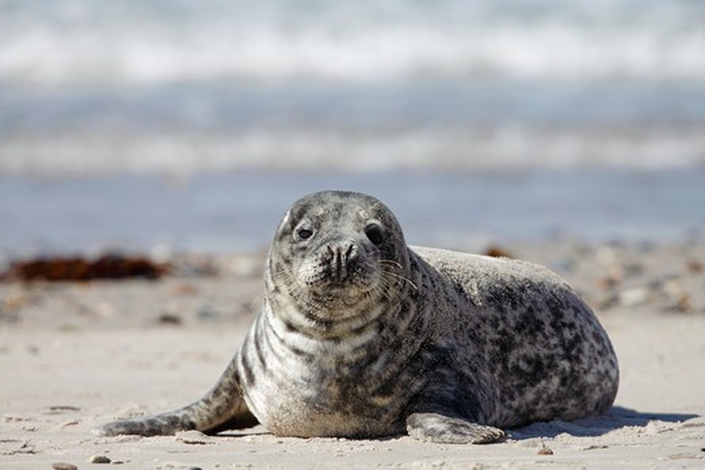 Stock Photo: 4279-36111 Grey Seal - lying, Halichoerus grypus