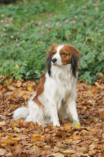 Stock Photo: 4279-36187 Kooikerhondje dog - sitting in foliage
