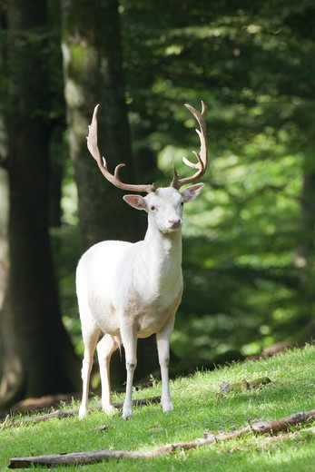 Stock Photo: 4279-36281 Fallow Deer (albino) - standing, Dama dama