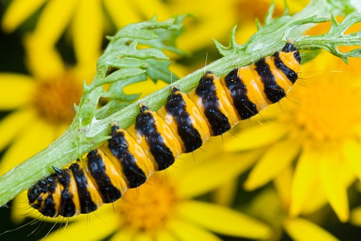 Cinnabar moth - caterpillar, Tyria jacobaeae : Stock Photo