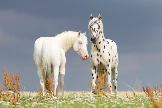 Stock Photo: 4279-36357 two Knabstrup horses - standing on meadow