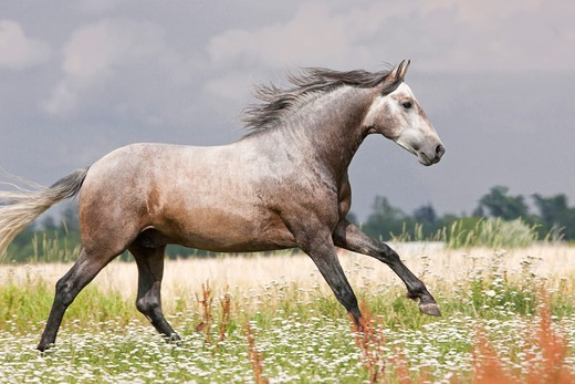 Stock Photo: 4279-36364 Pure Spanish-bred horse - running on meadow