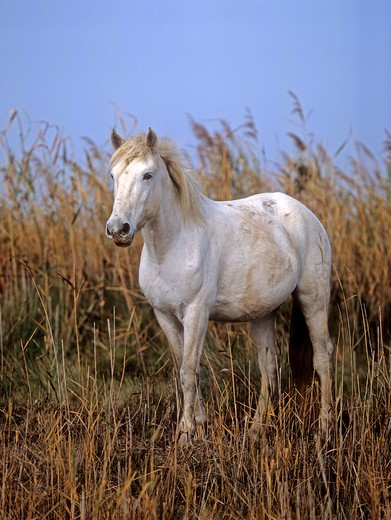 Camargue horse - standing : Stock Photo