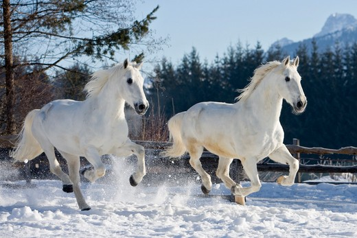 two Lipizzan horses - galloping in snwo : Stock Photo