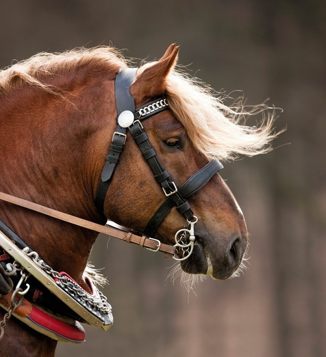 Stock Photo: 4279-36606 Cold-blooded horse - portrait