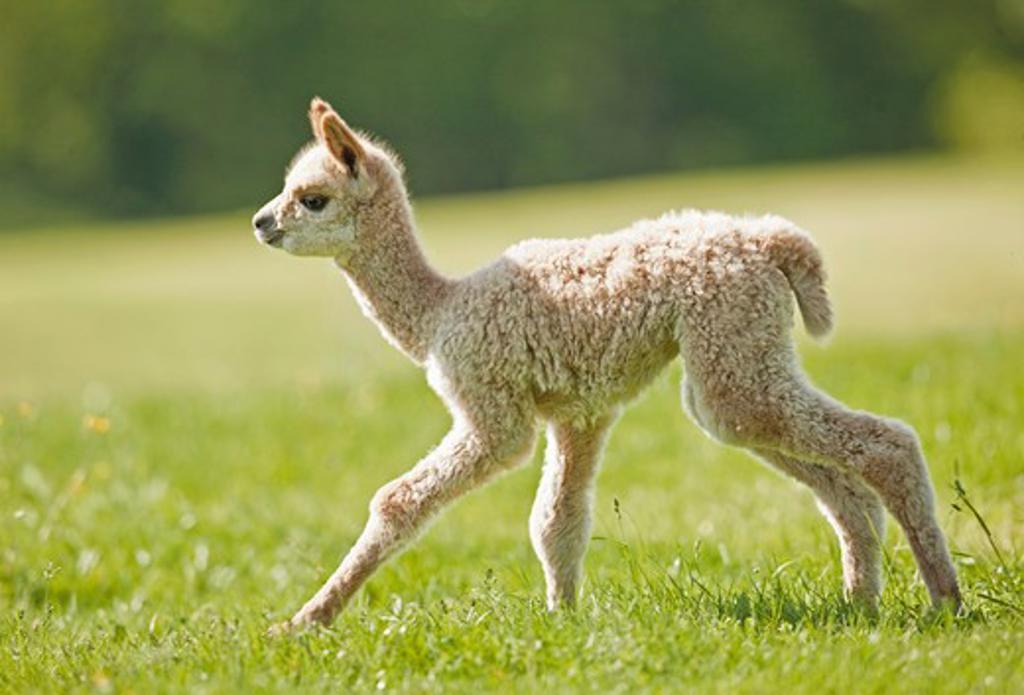Stock Photo: 4279-36681 Alpaca - cub on meadow, Vicugna pacos