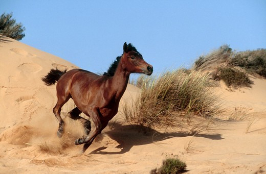 Stock Photo: 4279-3679 arabian horse