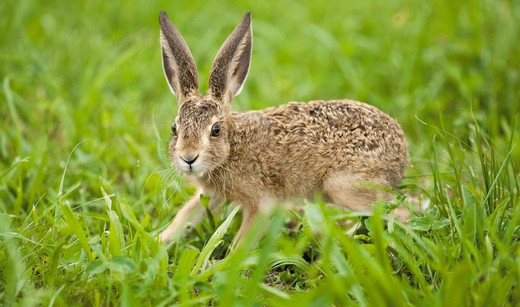 young European Hare on meadow : Stock Photo