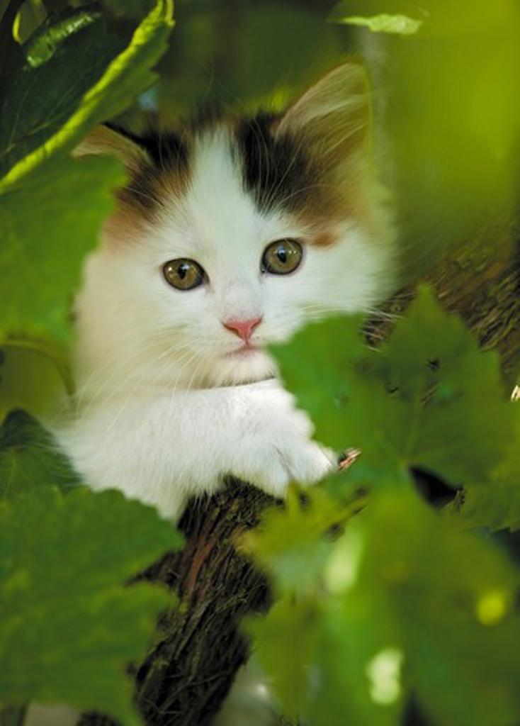 Stock Photo: 4279-36876 Maine Coon cat - kitten in shrub