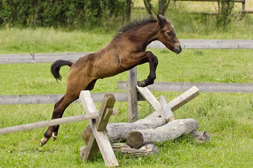 Stock Photo: 4279-36937 Connemara horse - foal jumping over hurdle