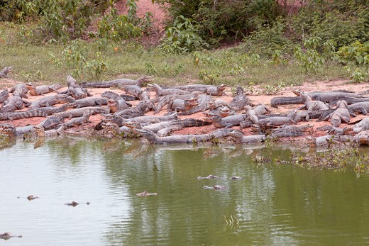 Stock Photo: 4279-36982 Yacare Caimans - lying at the shore, Caiman yacare