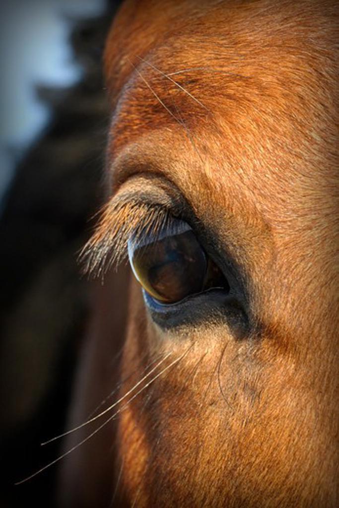 Stock Photo: 4279-37291 warm-blood horse - eye