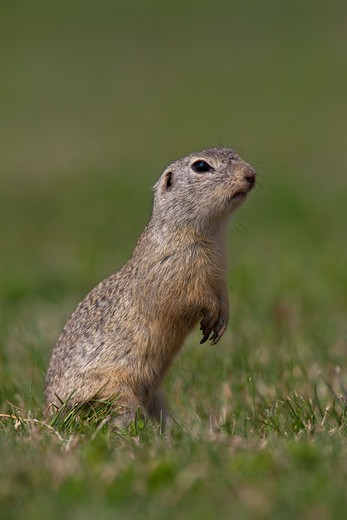 European ground squirrel on meadow, Spermophilus citellus : Stock Photo
