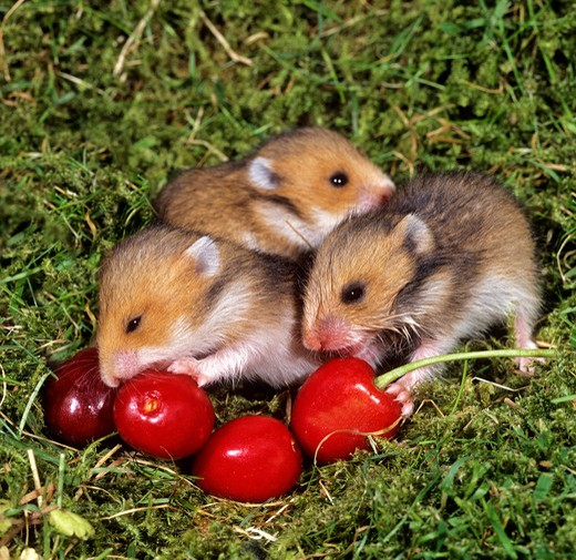Stock Photo: 4279-37495 three young Golden Hamsters at cherries, Mesocricetus auratus